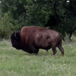 Breeding Animals - Genetically tested pure Bison